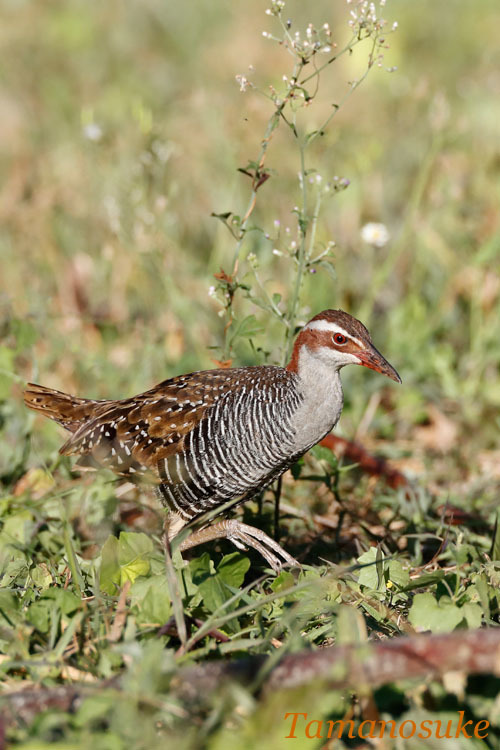 Buff banded rail_2019_10