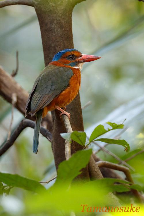 Green backed kingfisher_2019_20