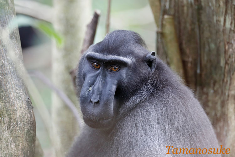 Sulawesi crested macaque_2019_20