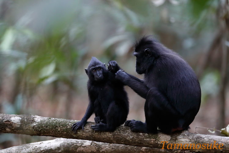 Sulawesi crested macaque_2019_10