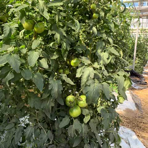 八代トマト