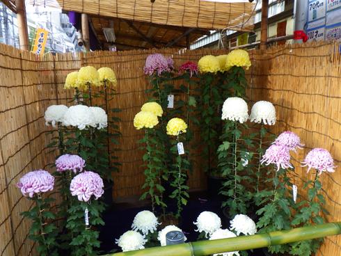 すがも中山道菊祭り-3
