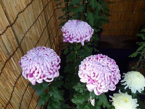 すがも中山道菊祭り-7