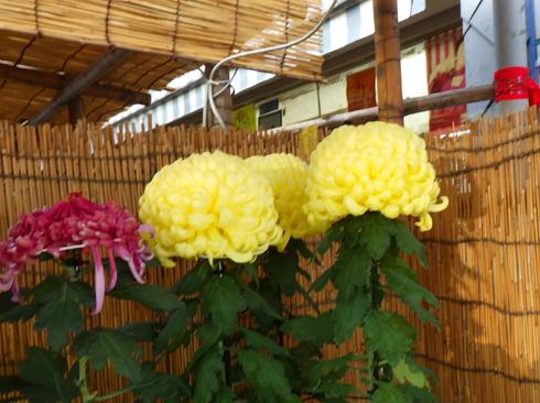 すがも中山道菊祭り-9
