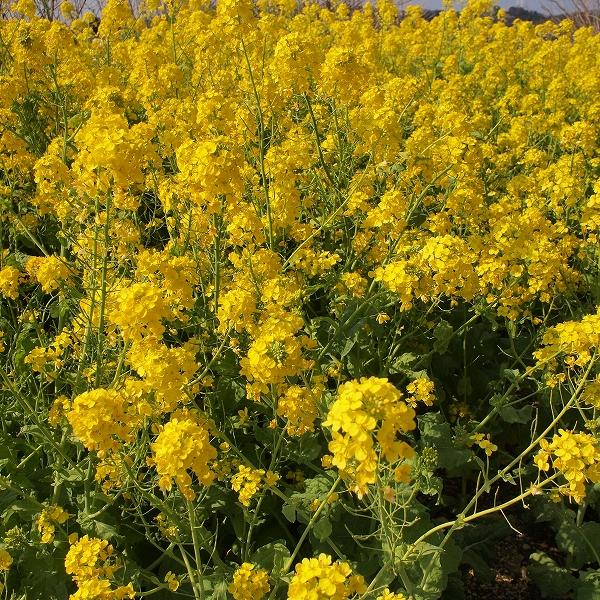 500菜の花