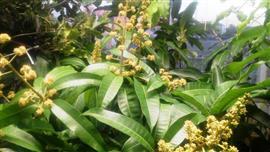 マンゴー花盛り_R