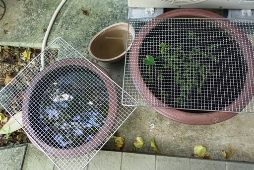 カエル風呂DSC01169