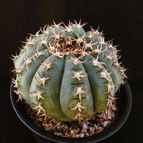 190318--DSC_0496--spegazzinii f unguispinum--SLL 44b--Bercht seed 4141(2014)