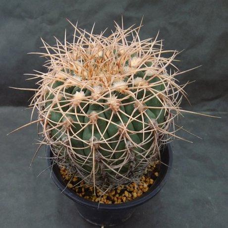 190722--DSC_2787--ochoterenae v herbsthoferianum--LB 386--Bercht seed