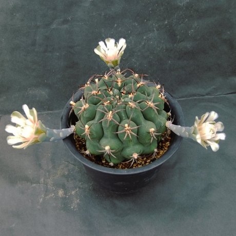 190722--DSC_2773--schickendantzii v delaetii--HV 833--San Roque Salta--Bercht seed 2221 (2009)