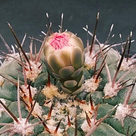 190724--DSC_2800a--glaucum--bud--Mesa seed