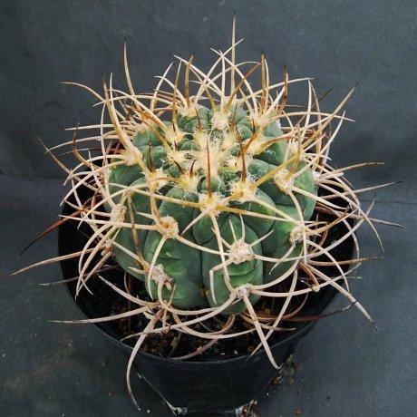 190806--DSC_2889--armatum--VS 300--Bercht seed 2359 (2014)