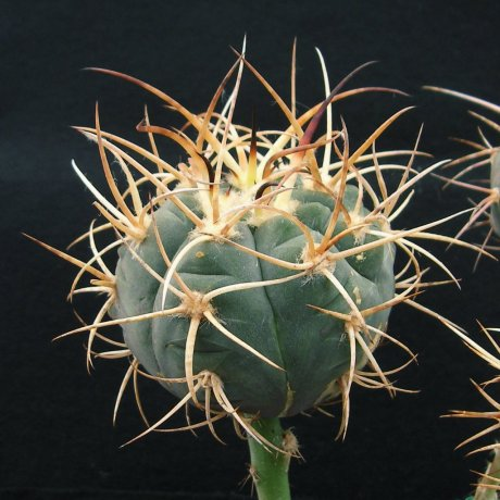 170401--Sany0046--armatum--VS 300--Bercht seed 2359(2014)