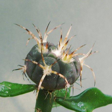 !50527a--Sany0133--armatum--VS 300--Bercht seed 2359(2014)
