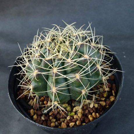190809--DSC_2902--anisitsi ssp holdii--VoS 03-034--EL Tinto Santa Cruz Bolivia--VoS seed 2018