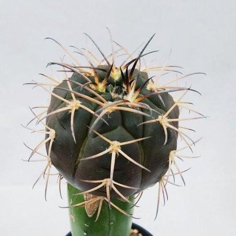 190328--DSC_0637--catamarcense ssp elegans--Tom 529-1--Bercht seed 2252(2011)