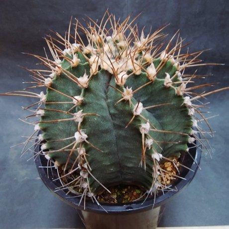 190823--DSC_3007--stenopleurum--LB 2188--Cerro Leon--ex Eden