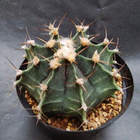 190823--DSC_3012--stenopleurum--LB 3207--bercht seed 2407(2009)--
