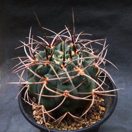 190819--DSC_2967--coloradense--HV 1680--Sierra de la Punta Negra LR--Bercht seed 2510 (2016)