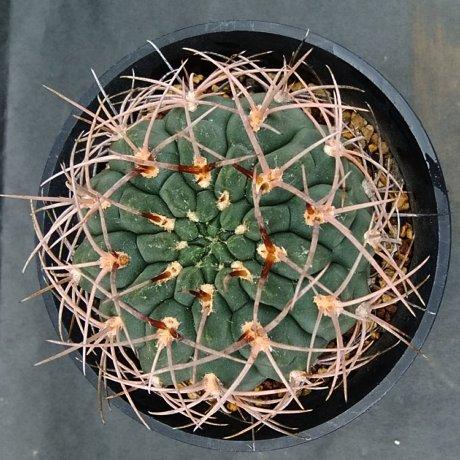 190820--DSC_2996--riojense ssp kozelskianum v mirandaense--guanchinense--VS 035--ex Eden
