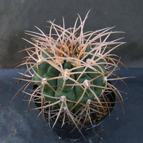 190826--DSC_3034--guanchinense vmirandaense--Tom 12-651-1---Bercht seed (2014)