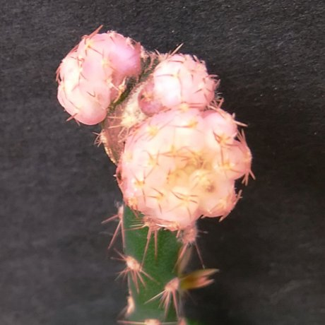 190830--DSC_3074--ragonesei f roseiflorum--jika shusi mishou