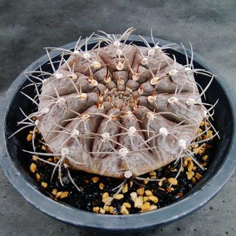 190828--DSC_3067--triacanthum--P 124--Sierra Ancasti Catamarca 700m--Piltz seed 4264