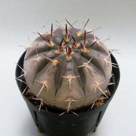 140614a--Sany0004--riojense ssp guasayanense--KP 258-- east of Saujil, Recreo, Catamarca, 370m Arg.--CCB seed CB-012080