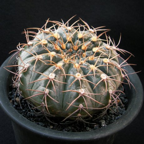161219--Sany0145--triacanthum--P 124--Piltz seed 2178--ex Kobayasi