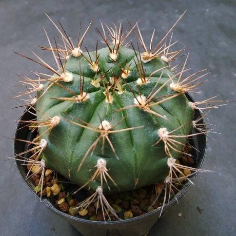 190914--DSC_3160--damsii ssp evae v boosii-- VoS 042--Piltz seed 5945 (2010)