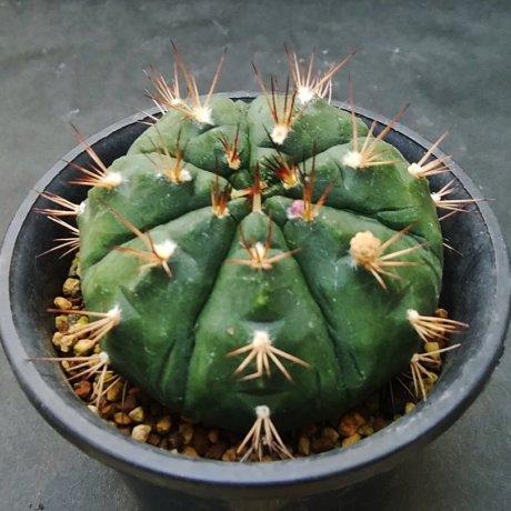 190914--DSC_3158--damsii ssp evae v oosii--LB 2331--Bercht seed 2306(2011)