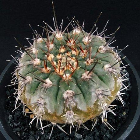 190921c--DSC_3214--glaucum--Mesa seed 468.3