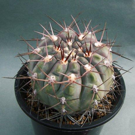 180922--Sany0035--mucidum--glaucum--P 36A--Piltz seed