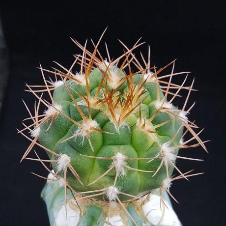 190921--DSC_3222--alboareolatum varieg--LB 1296--Piltz seed 3164
