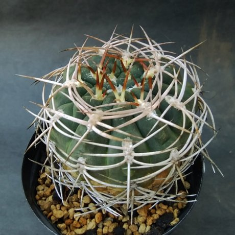 190926--DSC_3278--pugionacanthum - polycepharum--intermediate--VS 52--Dhonalik seed DS-013077