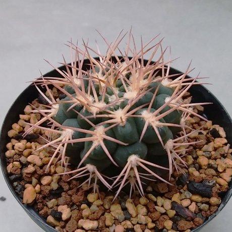 190927--DSC_3296--pugyonacanthum sensu Till--LF 027a--Anillaco 1800m--Bercht seed 3405(2016)