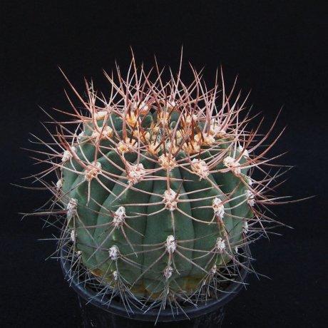 161016--Sany0019--nidulans--STO 28--Udpinango LR--Mesa seed 476.428