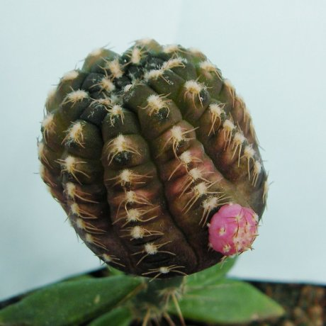 141207--Sany0181--ragonessei f roseiflorum--jecminek seed