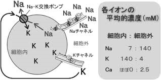 ナトリウム・カリウムチャンネル