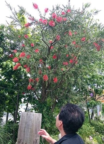 ブラシの木満開
