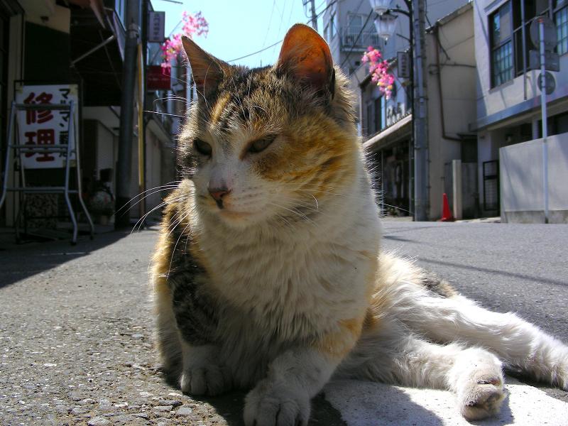商店街の三毛猫1