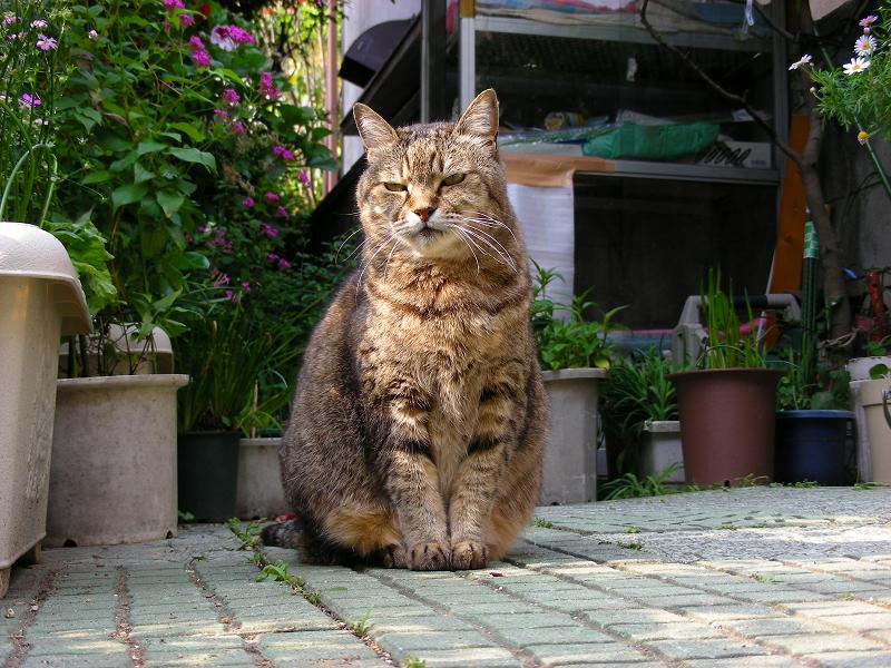 玄関先庭で座ってるキジトラ猫