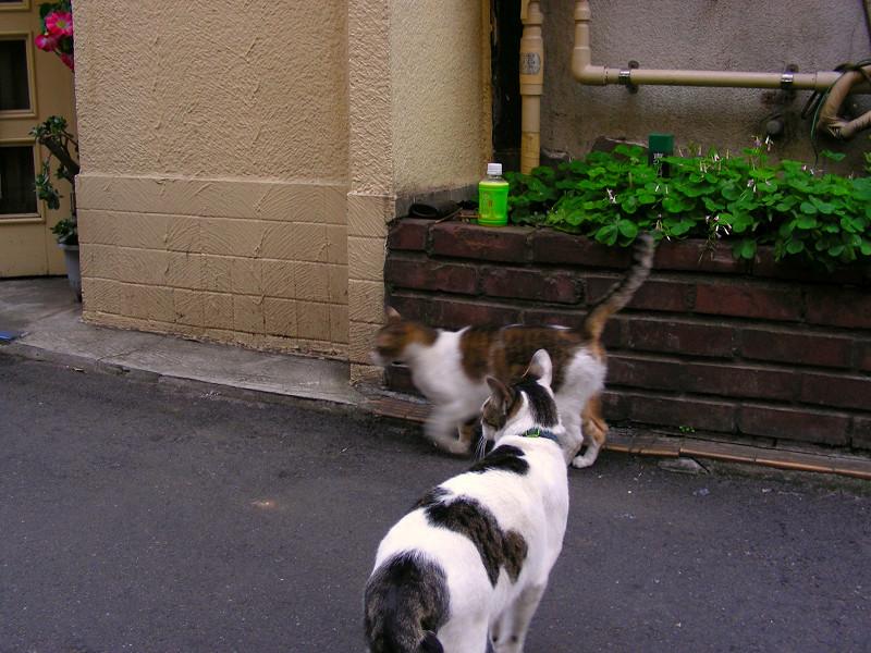 キジ白猫と白キジ猫1