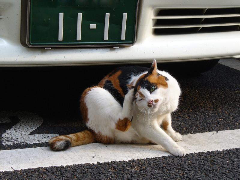 車の前でカキカキする三毛猫1