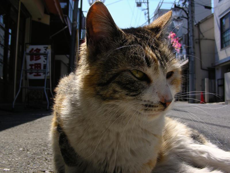 商店街の三毛猫2