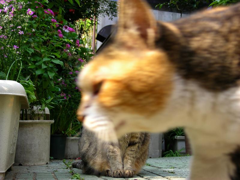前を横切る三毛猫