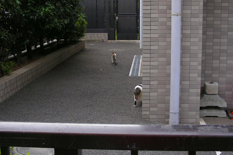 キジ白猫と白キジ猫2