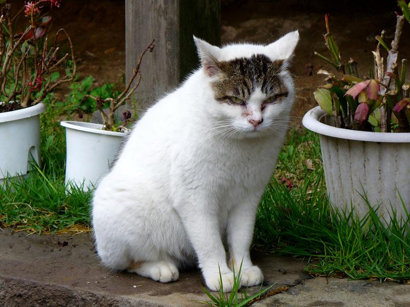睨む白キジ猫