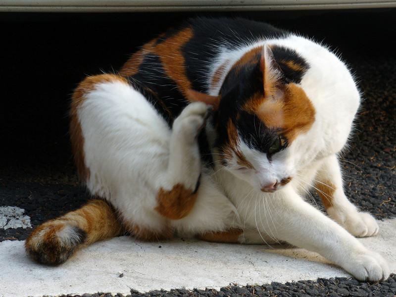 車の前でカキカキする三毛猫2
