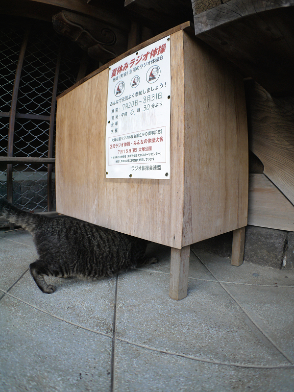ラジオ体操の机下のキジトラ猫1